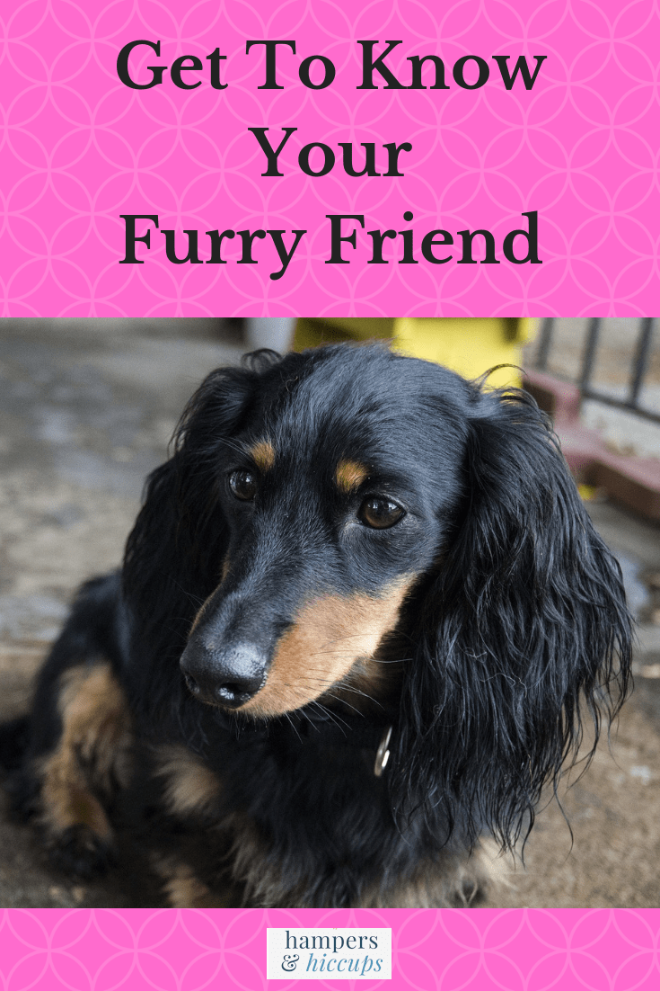 Get To Know Your Furry Friend image long haired black and tan dachshund dog hampersandhiccups
