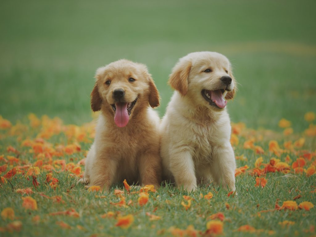Furry Friend - two yellow labrador retriever puppies in a field with orange fallen leaves in early fall